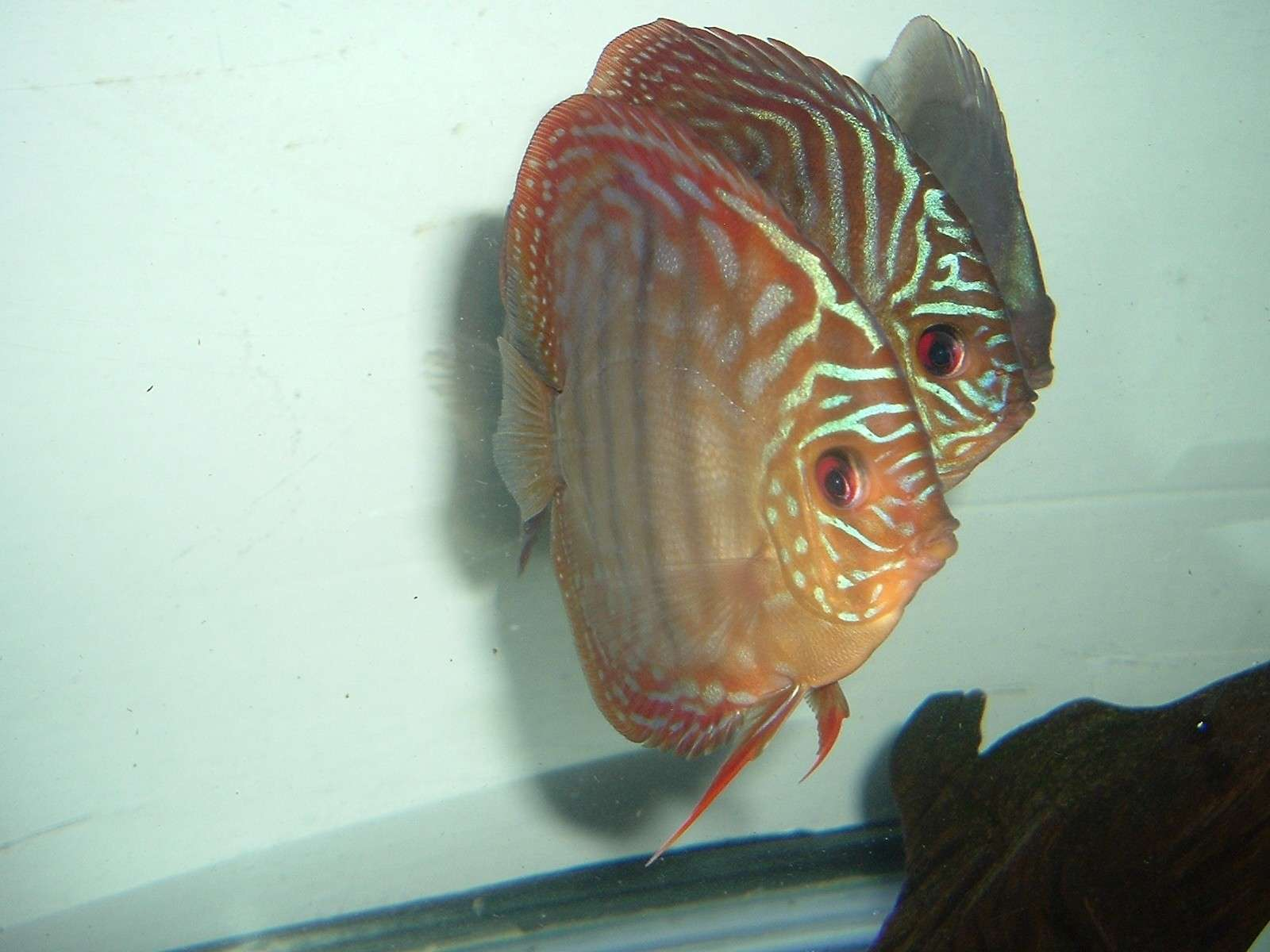 My Discus Pics!! (everything for sale now!!) P810