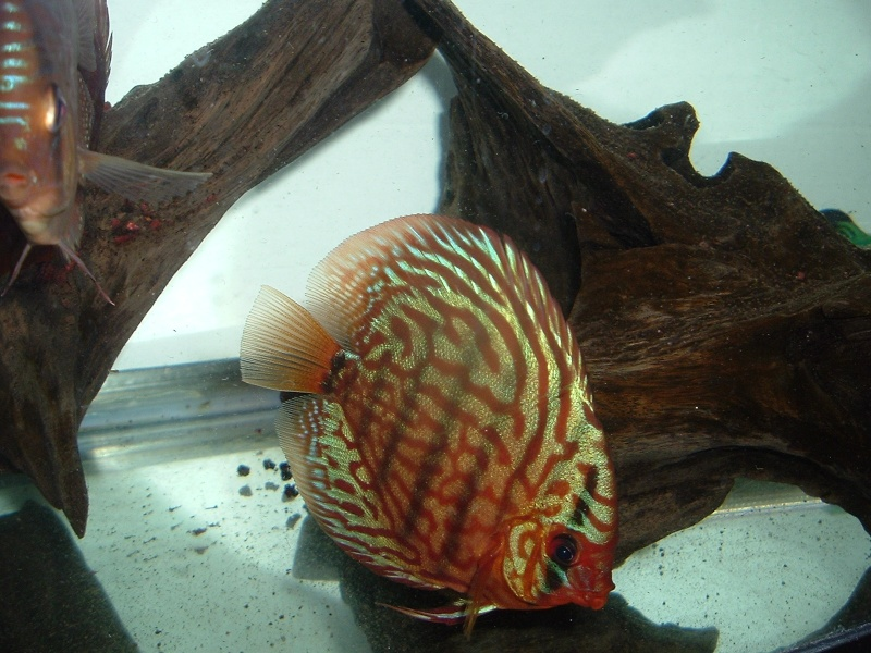 My Discus Pics!! (everything for sale now!!) Pretty10