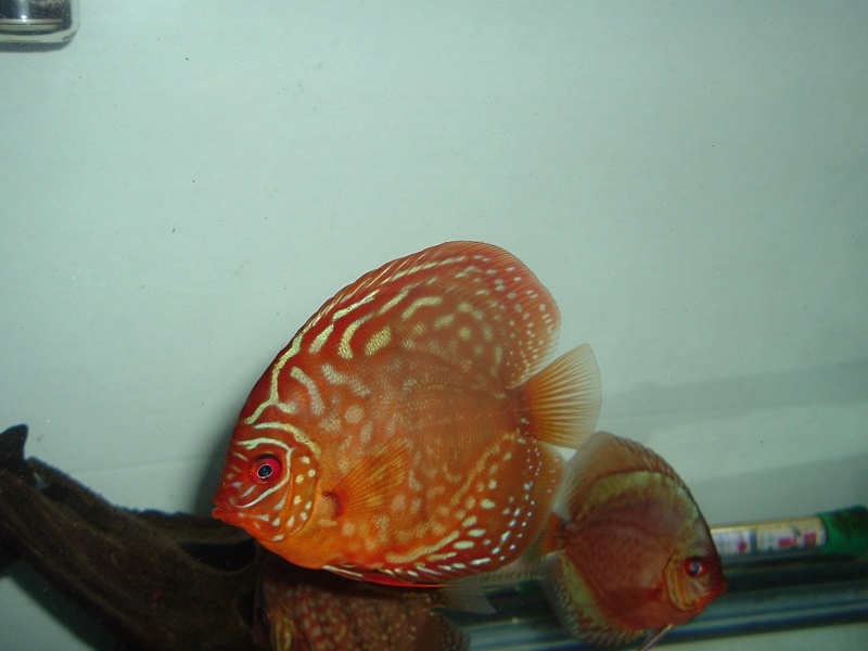My Discus Pics!! (everything for sale now!!) Pretty11