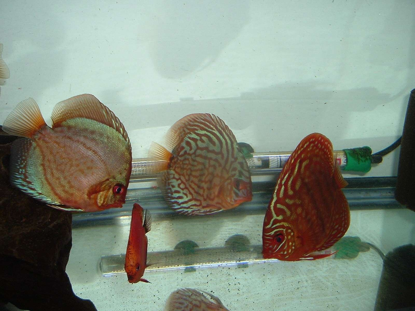 My Discus Pics!! (everything for sale now!!) Pretty13