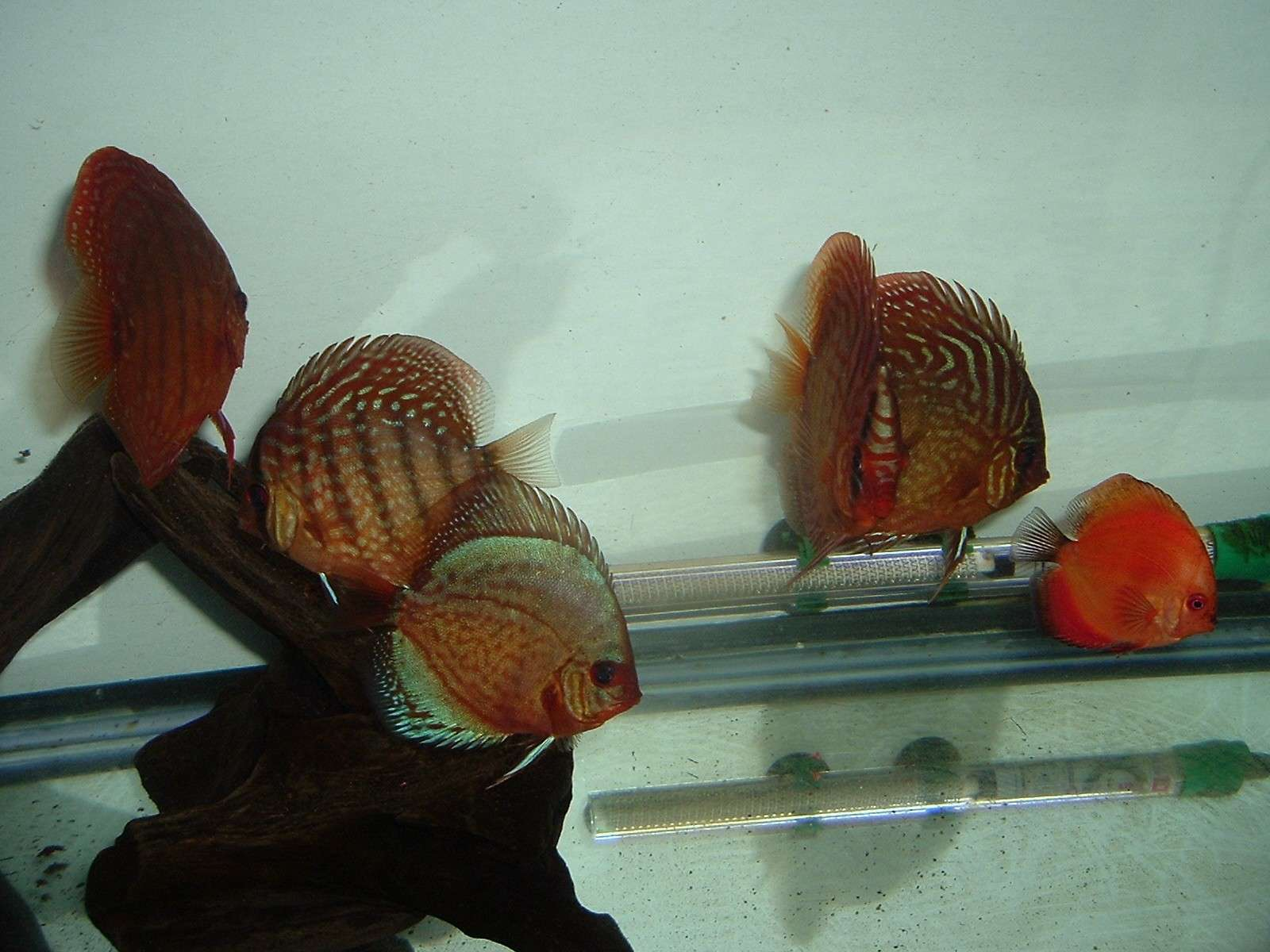 My Discus Pics!! (everything for sale now!!) Pretty14