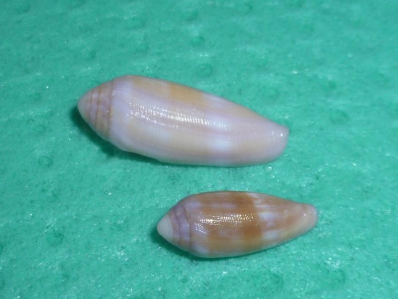 Conus (Leporiconus) pomareae   E Monnier & L Limpalaër, 2014 P1100811