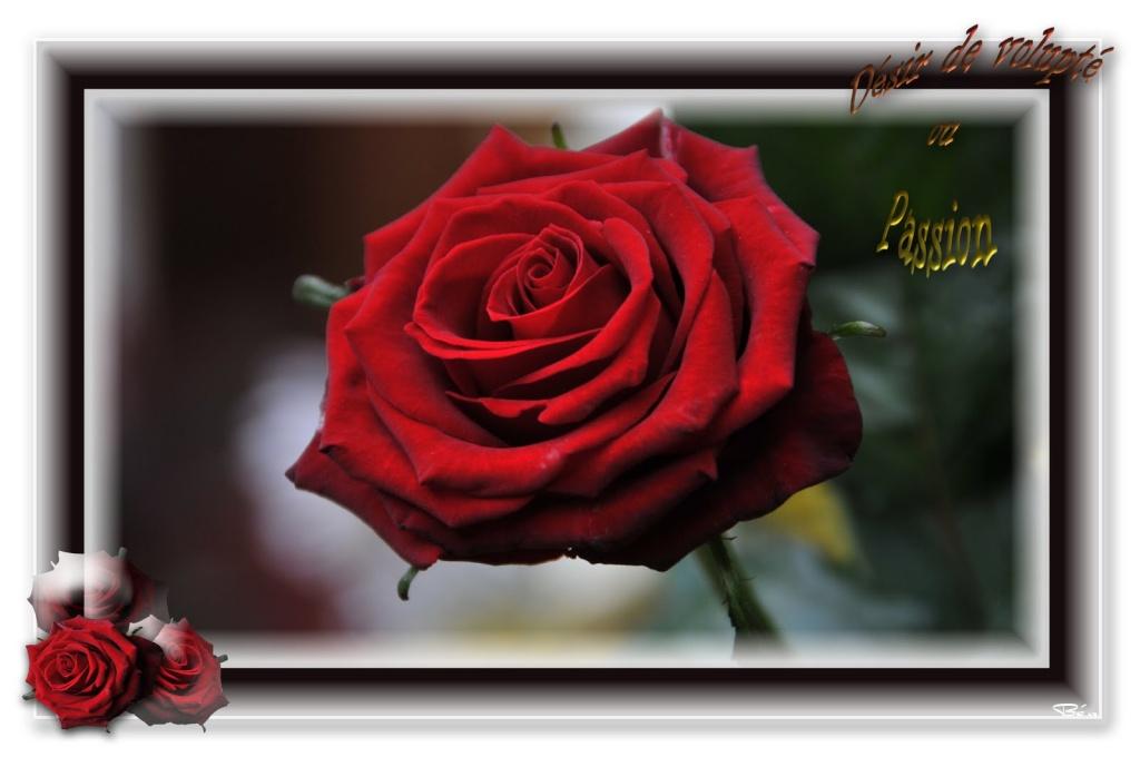Les Fleurs - Page 2 Rose_r10