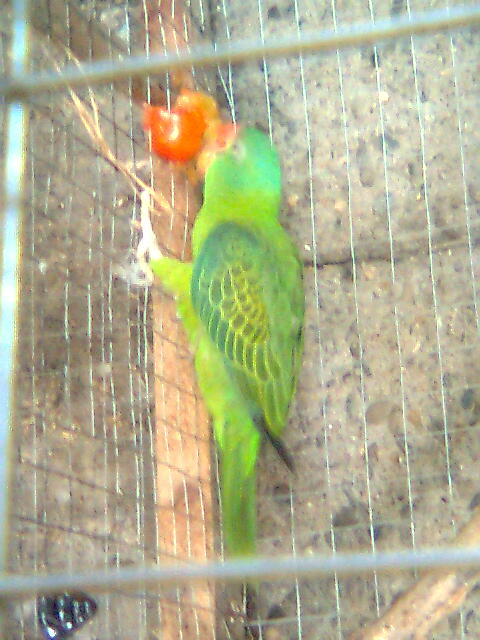 my pair philippine blue naped parrot! Image011