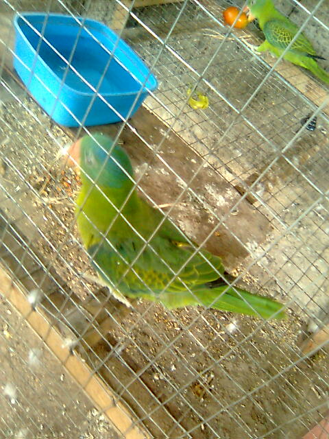 my pair philippine blue naped parrot! Image012