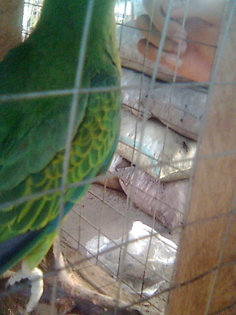 pugak the greatest parrot Image114