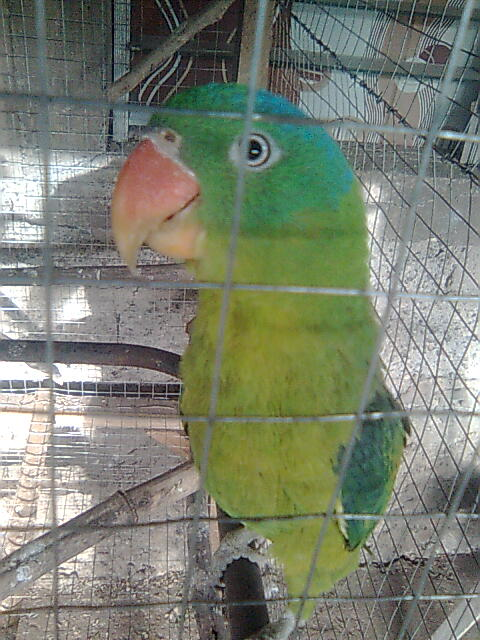 my pair philippine blue naped parrot! Image115