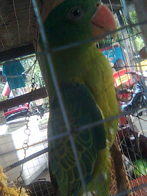 my pair philippine blue naped parrot! Image116