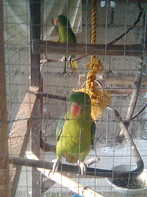my pair philippine blue naped parrot! Image117