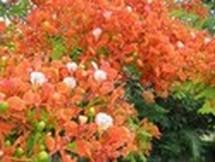 Fleurs du bout du monde- floraisons exotiques Austra35
