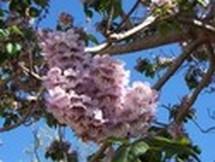 Fleurs du bout du monde- floraisons exotiques Austra39