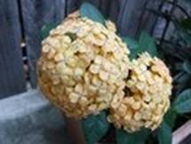 Fleurs du bout du monde- floraisons exotiques Austra44