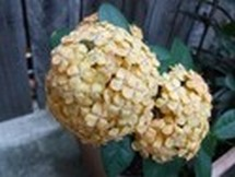 Fleurs du bout du monde- floraisons exotiques Austra45