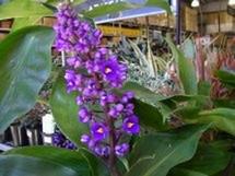 Fleurs du bout du monde- floraisons exotiques Dichor10