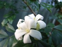 Fleurs du bout du monde- floraisons exotiques Murray10