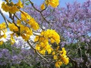 Fleurs du bout du monde- floraisons exotiques Tabebu10