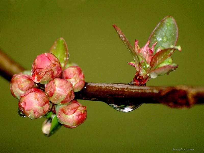 cognassier + 1 en fleurs  P3185210