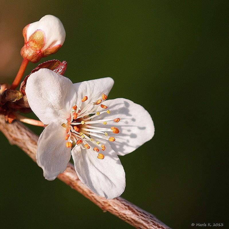 Premiere fleur de prunus P4015310