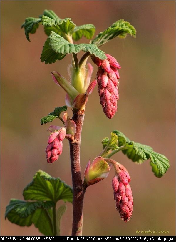 Groseillier à fleurs, Ribes sanguineum ou faux cassis ( maj..ex. Fleurs  de cassissier) P4035310