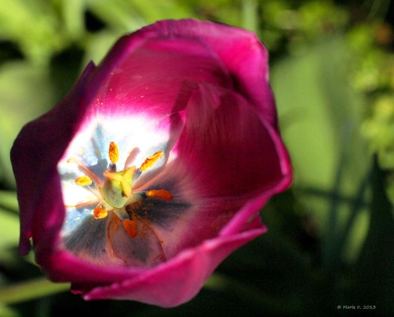 Coeur de tulipe P4171210