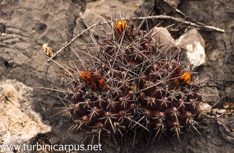 Thelocactus panarottoanus M_ther22