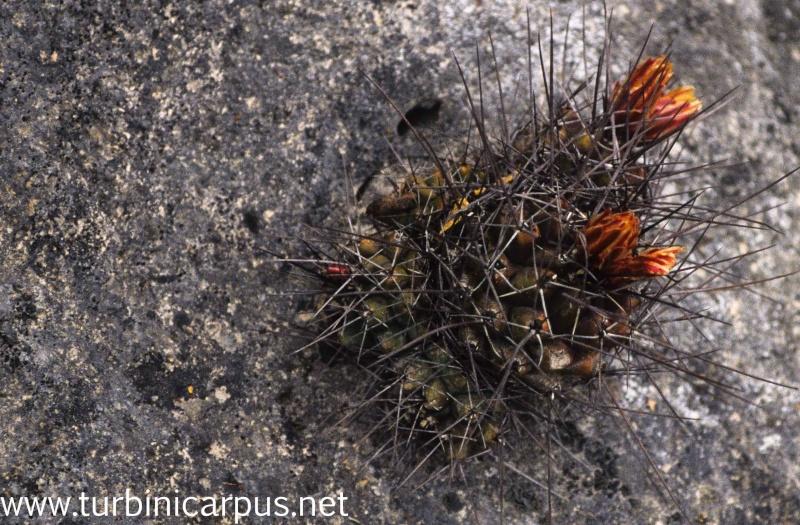 Thelocactus panarottoanus M_ther25