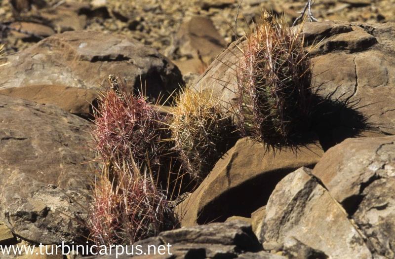 Thelocactus bicolor ssp. bicolor M_ther34