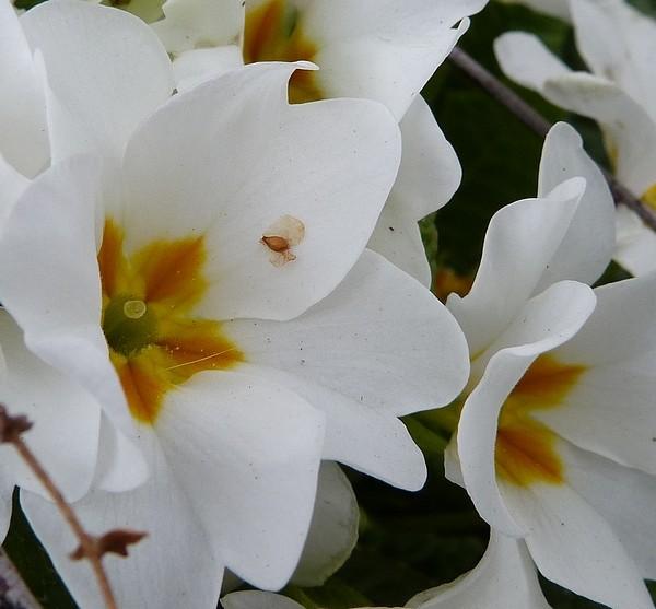 Primevères ( Primula ) - Page 3 P1070326