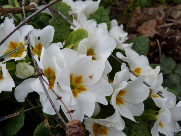 Primevères ( Primula ) - Page 3 P1070327