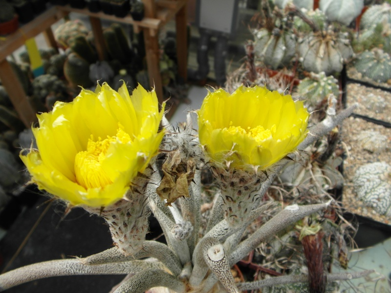 Cacti and Sukkulent in Köln, every day new flowers in the greenhouse Part 64 Bild1005