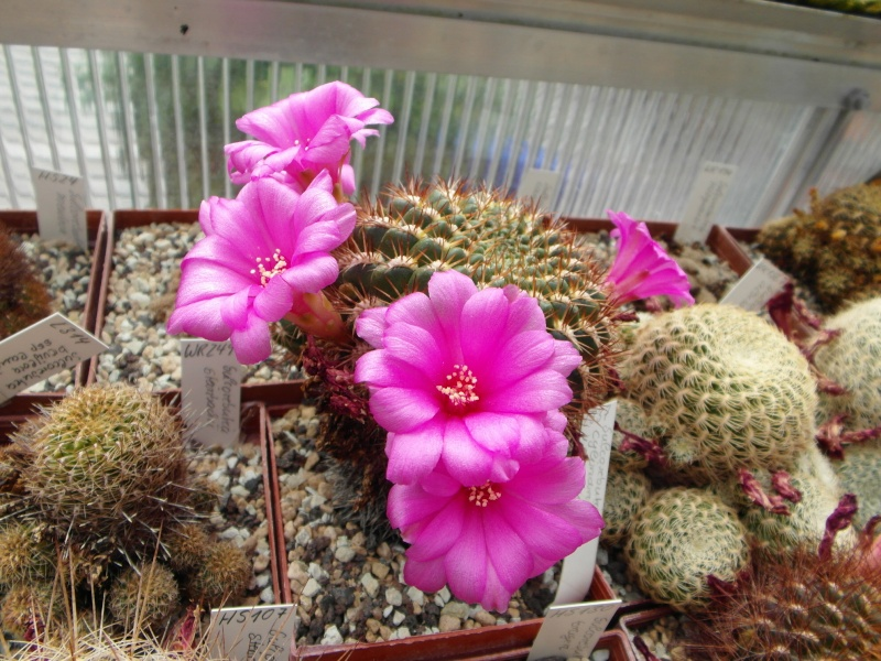 Cacti and Sukkulent in Köln, every day new flowers in the greenhouse Part 64 Bild1007