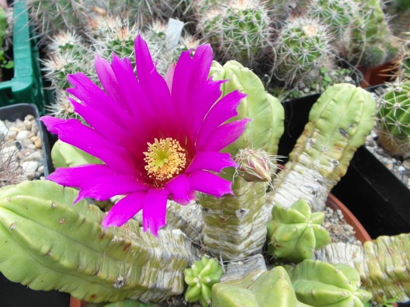 Cacti and Sukkulent in Köln, every day new flowers in the greenhouse Part 64 Bild1027