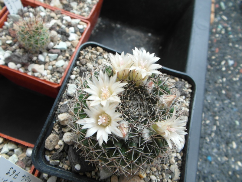 Cacti and Sukkulent in Köln, every day new flowers in the greenhouse Part 64 Bild1037