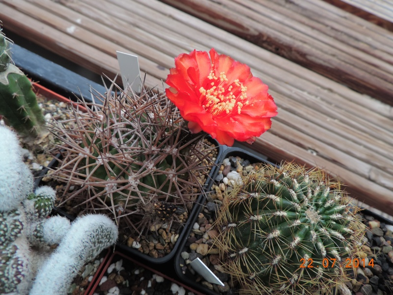 Cacti and Sukkulent in Köln, every day new flowers in the greenhouse Part 110 Bild1047