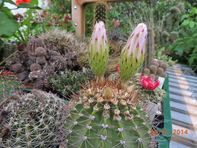 Cacti and Sukkulent in Köln, every day new flowers in the greenhouse Part 110 Bild1048