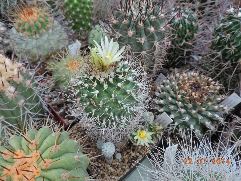 Cacti and Sukkulent in Köln, every day new flowers in the greenhouse Part 110 Bild1049