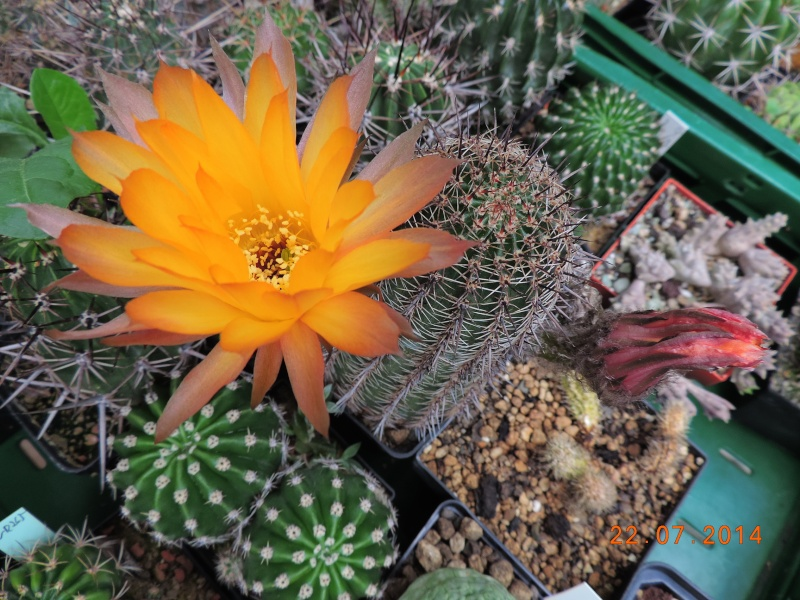 Cacti and Sukkulent in Köln, every day new flowers in the greenhouse Part 110 Bild1054