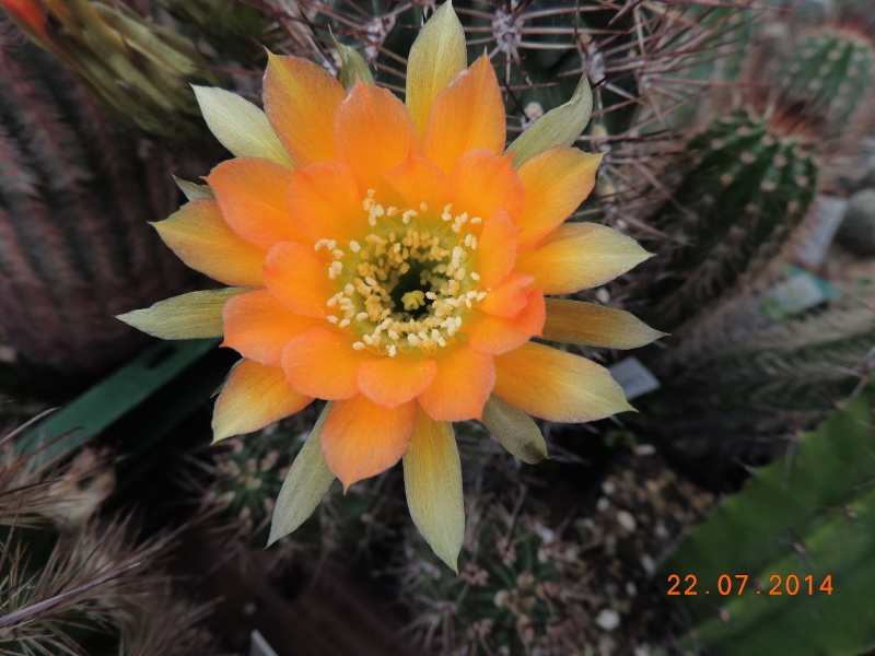 Cacti and Sukkulent in Köln, every day new flowers in the greenhouse Part 110 Bild1056