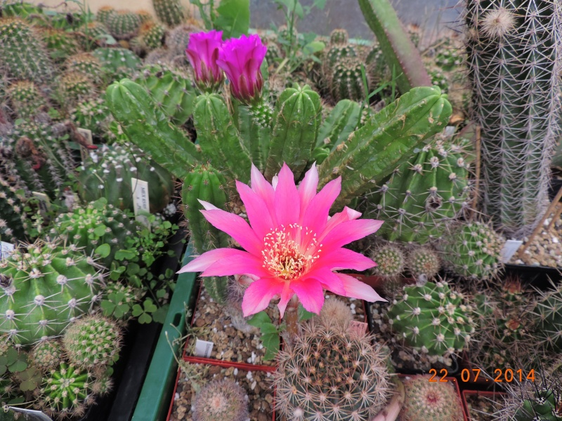 Cacti and Sukkulent in Köln, every day new flowers in the greenhouse Part 110 Bild1057