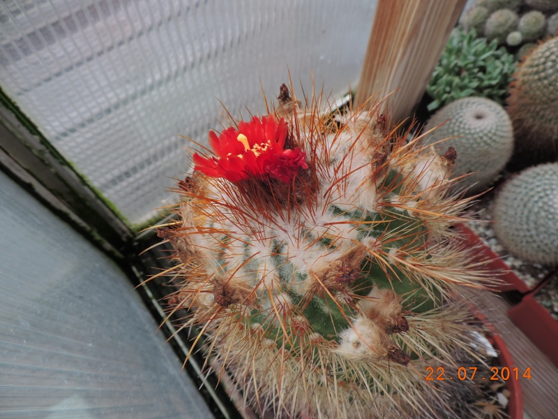 Cacti and Sukkulent in Köln, every day new flowers in the greenhouse Part 110 Bild1059