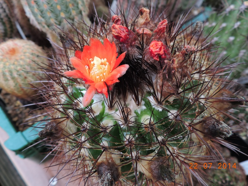 Cacti and Sukkulent in Köln, every day new flowers in the greenhouse Part 110 Bild1060
