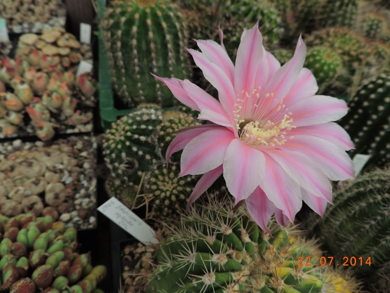 Cacti and Sukkulent in Köln, every day new flowers in the greenhouse Part 110 Bild1061