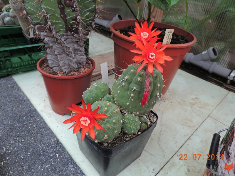 Cacti and Sukkulent in Köln, every day new flowers in the greenhouse Part 110 Bild1064