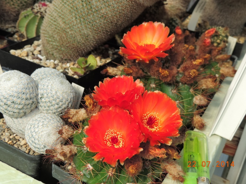 Cacti and Sukkulent in Köln, every day new flowers in the greenhouse Part 110 Bild1069