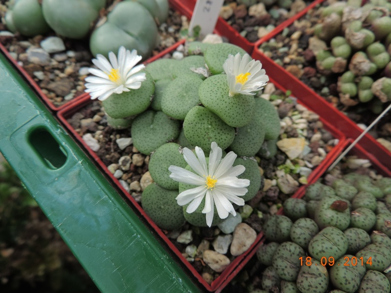 Cacti and Sukkulent in Köln, every day new flowers in the greenhouse Part 110 Bild1082