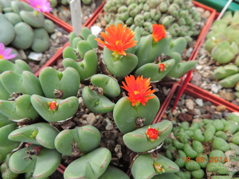 Cacti and Sukkulent in Köln, every day new flowers in the greenhouse Part 110 Bild1084