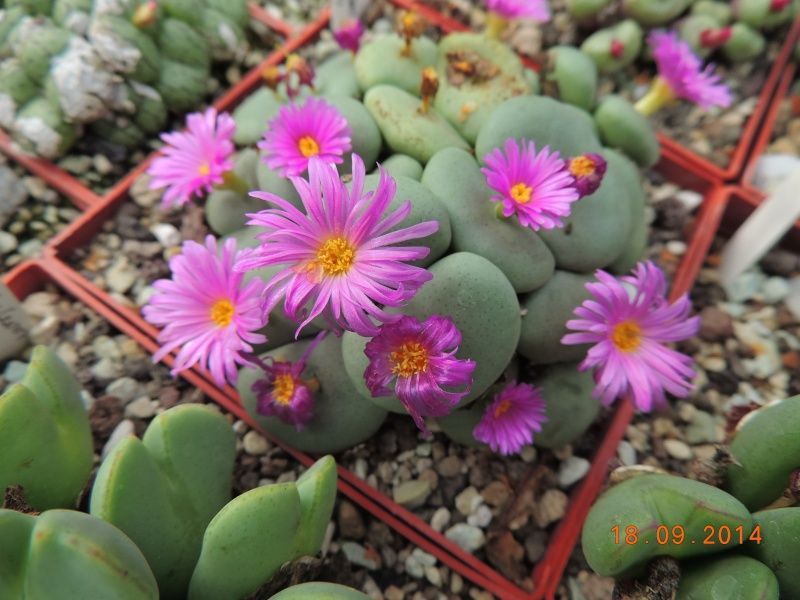 Cacti and Sukkulent in Köln, every day new flowers in the greenhouse Part 110 Bild1085