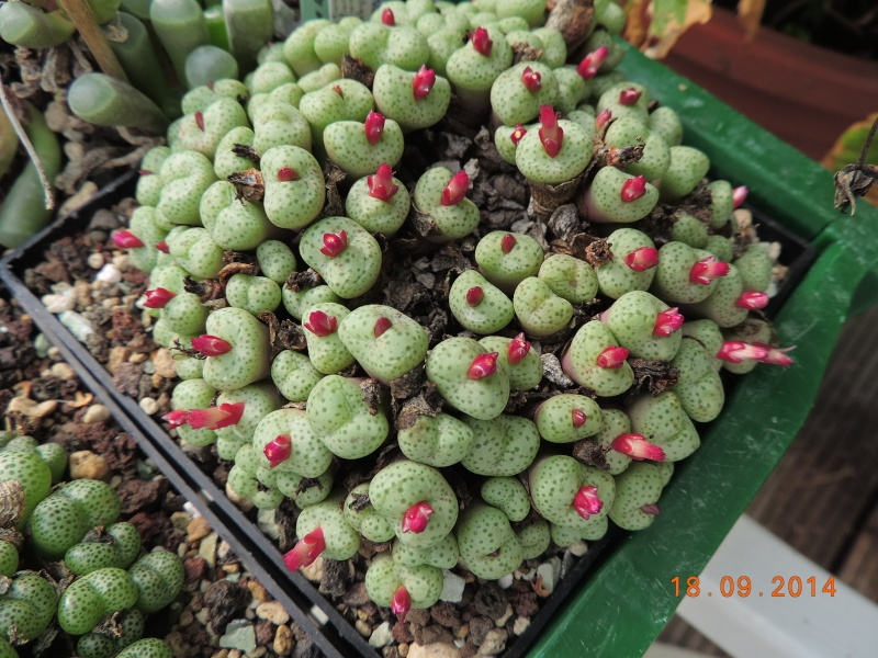 Cacti and Sukkulent in Köln, every day new flowers in the greenhouse Part 110 Bild1088