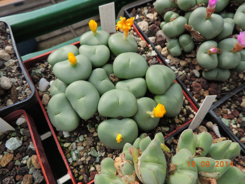 Cacti and Sukkulent in Köln, every day new flowers in the greenhouse Part 110 Bild1090