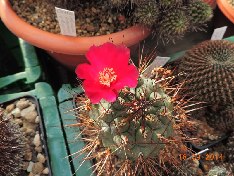 Cacti and Sukkulent in Köln, every day new flowers in the greenhouse Part 110 Bild1093